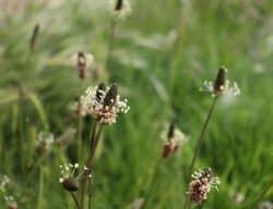 Selection Criteria - Plantain Plants